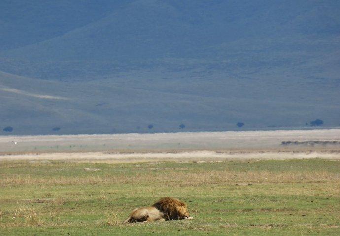 Lõvi Ngorongoros